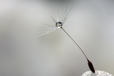 A drop at a dandelion photo