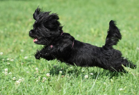 Black dog runing on the grass photo