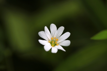 chickweed: A white chickweed flower closeup