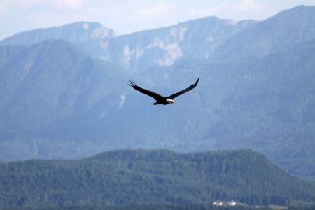 flying bald eagle in the mountains photo