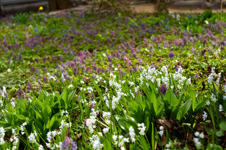 galanthus: Flowerbed in spring with galanthus flowers