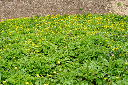 flowerbed: Flowerbed with small yellow flowers and green Stock Photo