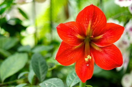 horizontal position: Red Hippeastrum horizontal position close up shot Stock Photo