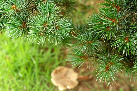 Green Christmas tree background close up horizontal