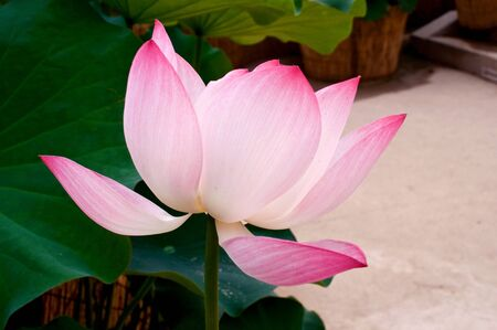 Pink lotus flower in summer with green leaves Фото со стока