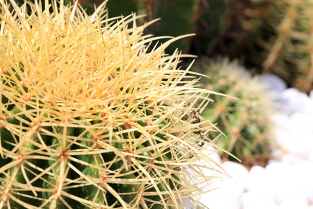 Spherical cactus close-up in China. photo