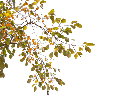 persimmon tree: Persimmon tree isolated on white background
