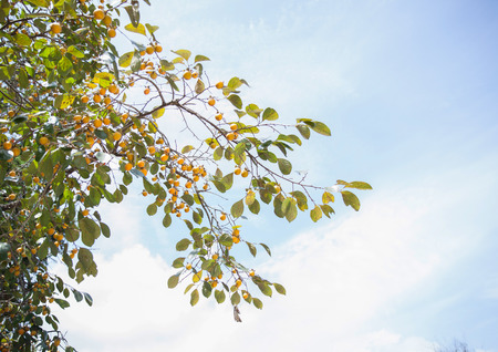 persimmon tree: Persimmon tree isolated on sky background