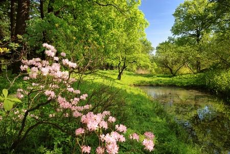 botanika: Jarní krajina s rybníkem a Rhododendron