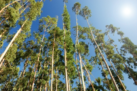 eucalyptus trees on the background of blue sky photo