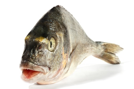 ugly mouth: Dorada fish with opened mouth