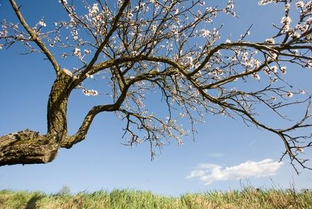 weather beaten: Old weather beaten fruit tree still blooming at spring. Archivio Fotografico
