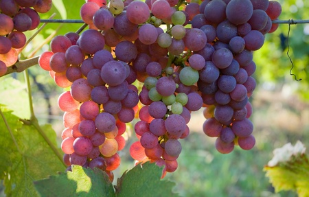grape harvest: This is how red wine is born.