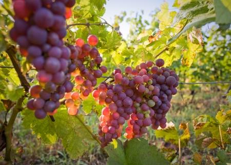 vi�edo: Se trata de c�mo nace el vino tinto.