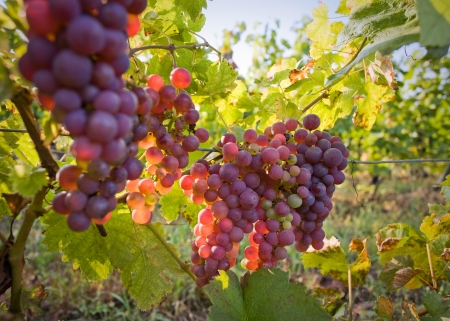 wine grapes: This is how red wine is born.