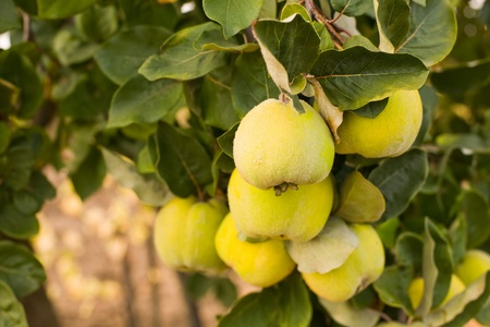 membrillo: Maduras jugosas manzanas ecológicas membrillo naturales en el árbol en otoño. Foto de archivo