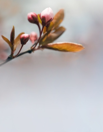 Spring header with pink buds and copy space. photo