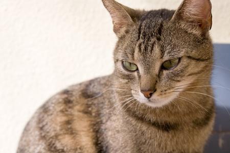 tabby cat: portrait of cute young brown mackerel tabby cat relaxing.