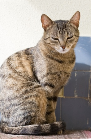 housecat: Portrait of relaxed looking young female tabby housecat