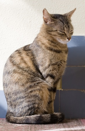 Portrait of relaxed looking young female tabby housecat  photo