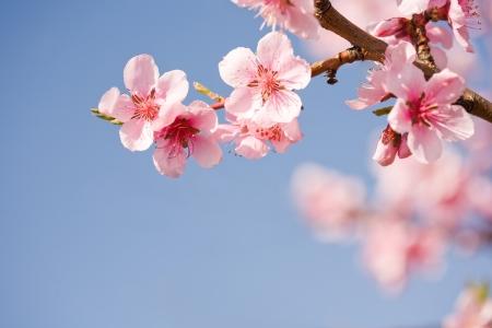 fleur de cerisier: Belles fleurs colorées de printemps frais avec le ciel bleu clair.