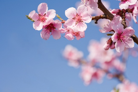 cerezos en flor: Hermosas flores de colores de primavera fresca con el cielo azul claro. Foto de archivo