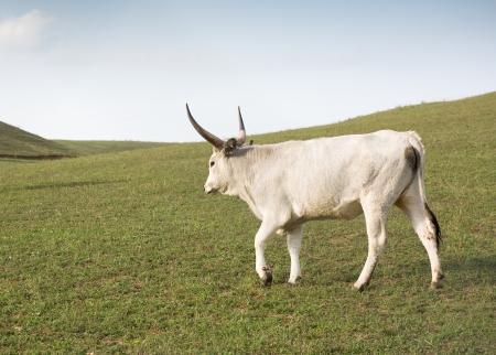 buey: Una raza única, Húngaro ganado gris, al aire libre pastoreo