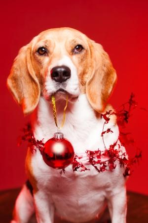 dog christmas: Portrait of a cute funny beagle christmas dog.