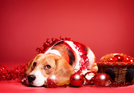 Portrait of an adorable cute beagle in christmas setting. Stock Photo