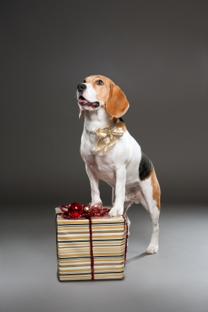 Studio shot of a cute christmas dog with ornaments. photo