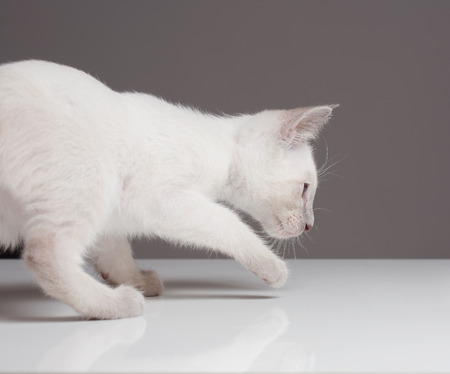 siamese: Cute playful siamese kitten. Stock Photo