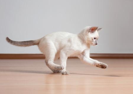 gato jugando: Lindo gatito siamés juguetón.