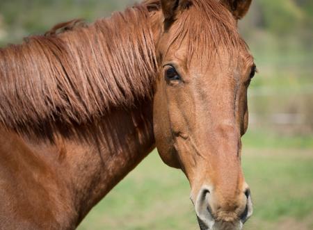 Close portrait of a beautiful bay color horse.