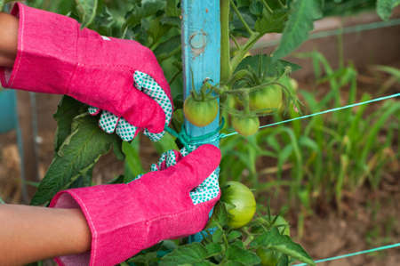 Staking of green tomatoes by farmer