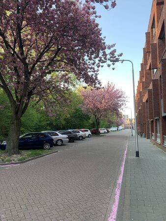 Pink blossoming trees at the street. Tilburg, North Brabant, Netherlands. Stock Photo
