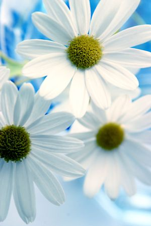 garden key: Wild daisies on blue background
