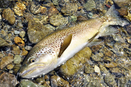 brown trout: New Zealand Brown Trout