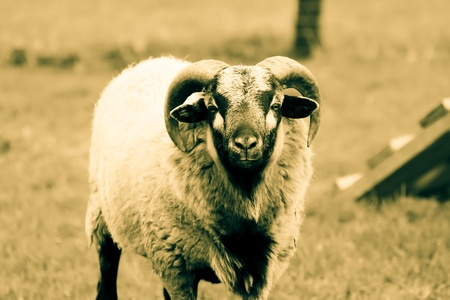 Sheep loking courious on tons of sepia photo