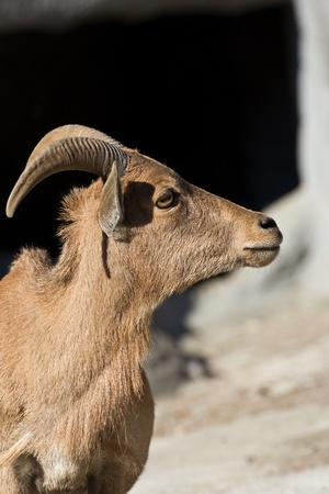 caprine: Mountain goat looking Stock Photo