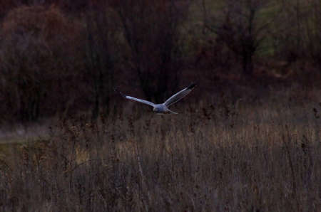 Circus cyaneus Northern Harrier the flying hunter