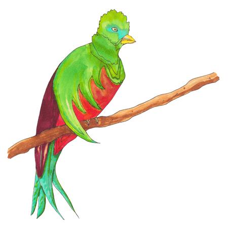 Resplendent Quetzal. Quetzal Bird on a branch. Hand drawn illustration. Stock Photo