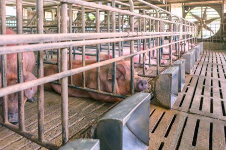 grosse fesse: Les jeunes porcs se reposent dans la ferme Banque d'images