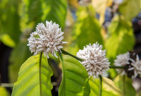 arbol de cafe: flor de caf� de flores de color blanco del cafeto