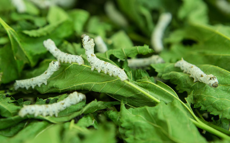 silkworm: Macro photo of a Silkworm eating a mulberry leaf