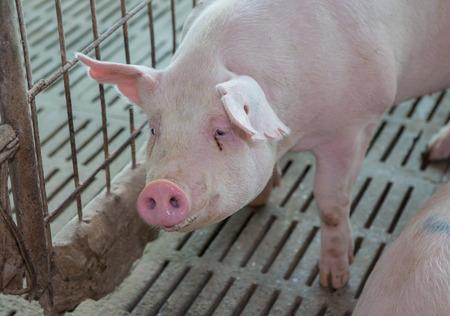 grosse fesse: cochon dans la cage, la ferme de porc
