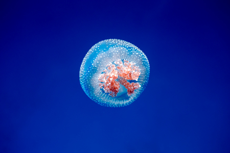 jellyfish on a blue background