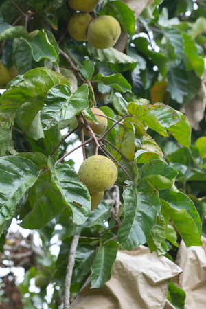 green santol fruit in garden