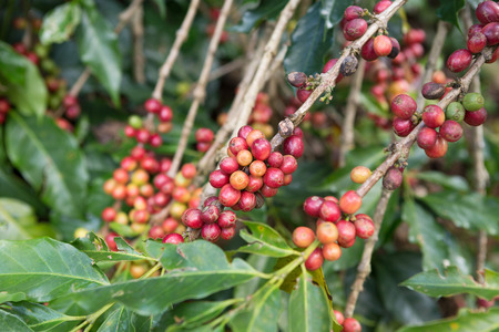 coffee beans on tree in the coffee farm Banque d'images