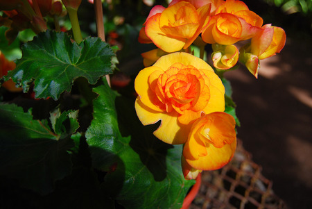 beautiful yellow rose Banque d'images - 103159397