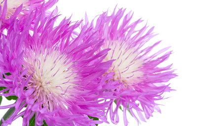 Flowers of centaurea dealbata isolated on a white, close up Stock Photo